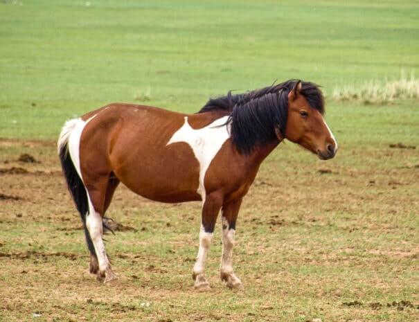 Mongolei_Pferd_Mustang