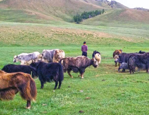 Mongolei_Nomaden_Yak_1