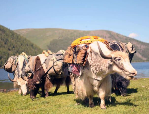 Mongolei_Yaks_Jurte